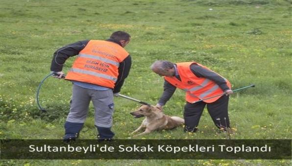 Sultanbeyli´de Sokak Köpekleri Toplandı