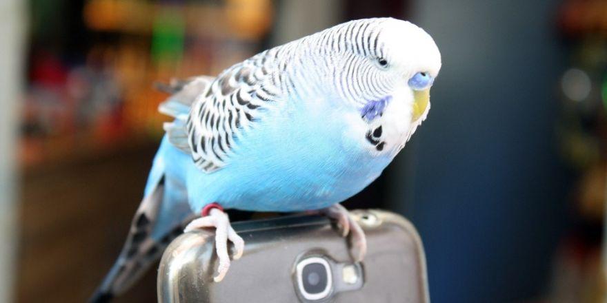 Muhabbet kuşu Fıstık'ı yanından hiç ayırmıyor