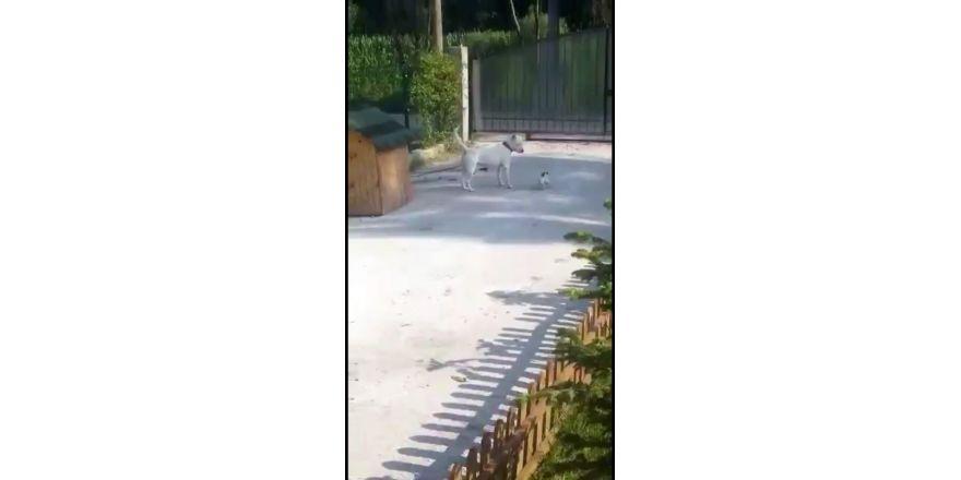 Küçük köpeğin büyük köpeğe oyunu kamera tarafından kaydedildi