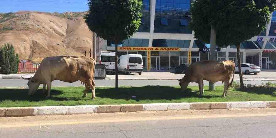 Refüjler ineklere otlak yerleri oldu