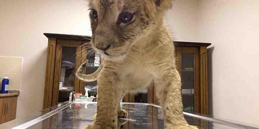 Araçta bulunan yavru aslan koruma altına alındı