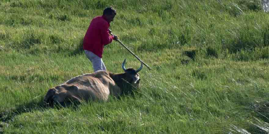 Bataklığa saplanan 2 inek kurtarıldı