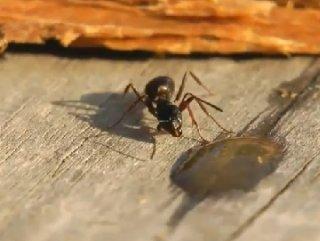 Karınca Sarhoş oldu