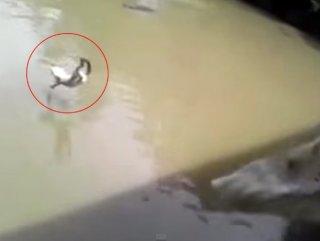 Zavallı kediyi timsahlarla dolu suya attılar