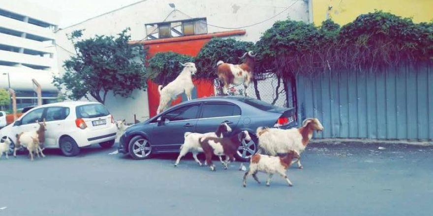 İzmir'de keçiler şehre indi