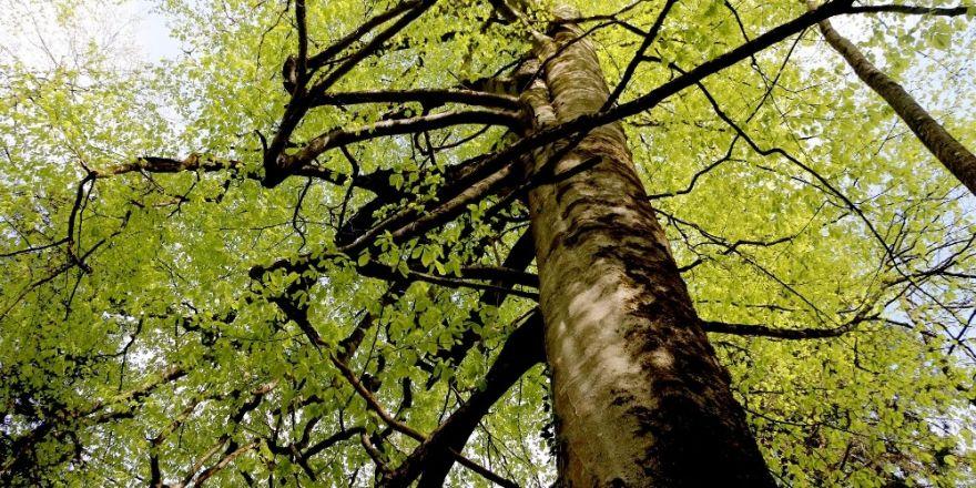 Kuzalan Tabiat Parkı 500 yıllık ağaçları ile dikkat çekiyor