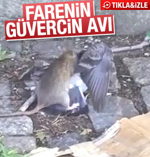 Farenin güvercin avı
