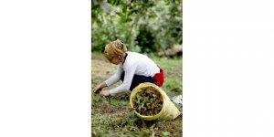 Fındık üreticisi açıklanan fındık fiyatına tepkili