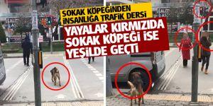 Yayalar kırmızıda sokak köpeği ise yeşilde geçti!